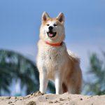 The Mastiff Dog Breed Profile