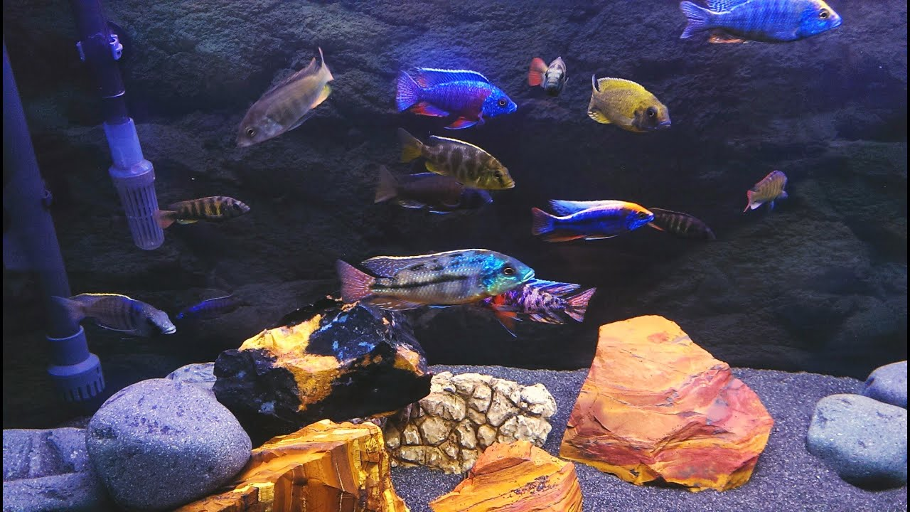 A Proper Guide On Cichlids- How You Should Feed Them